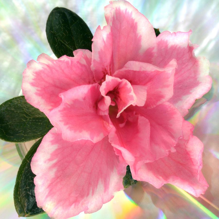 Azalea Photograph - Soft Pink Azalea by Terence Davis