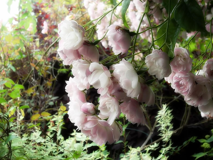 Soft Pink Photograph by Lee Yang