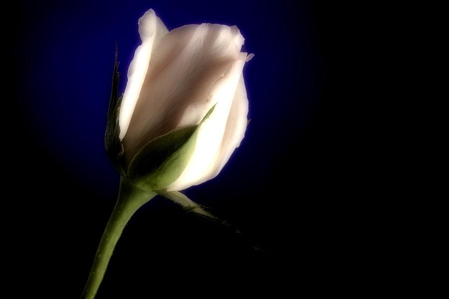 Rose Photograph - Soft Pink Rose Blue Background by M K  Miller