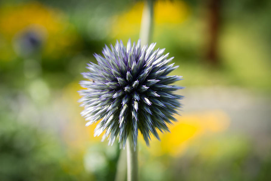 Nature Photograph - Soft Spike by Andreas Levi