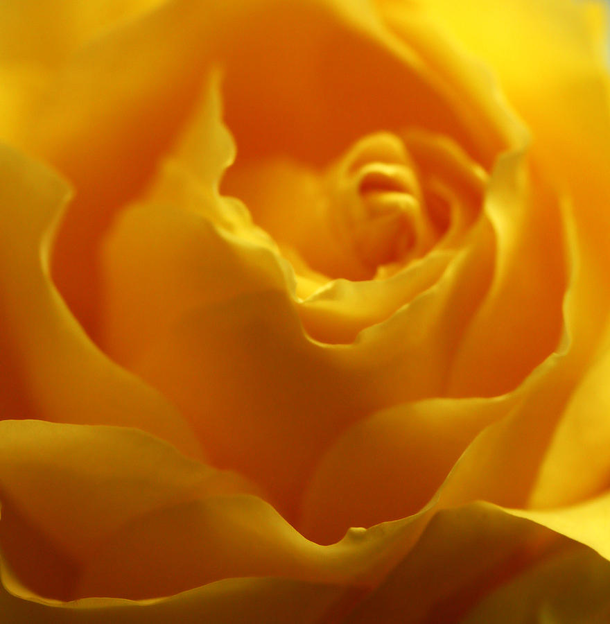 Softness In Yellows 2 Photograph