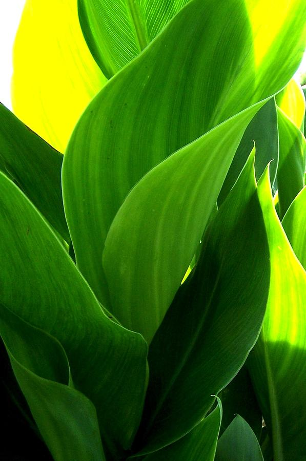 Canna Lilly Photograph - Softness by Susan Saver