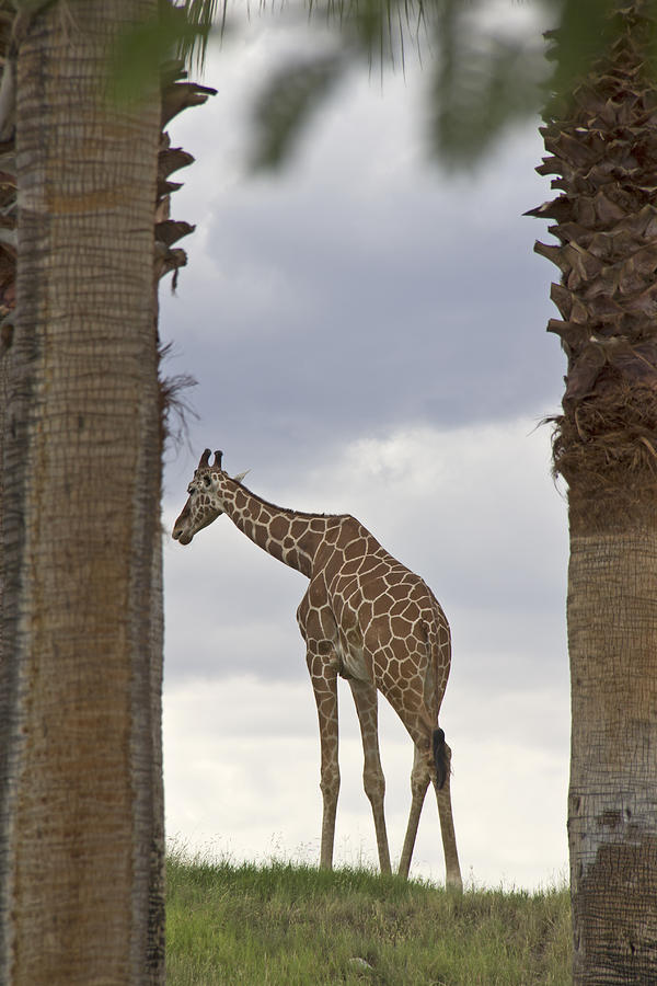 Giraffe Photograph - Solitary by Molly Heng