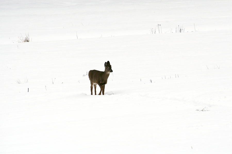 Deer Photograph - Solitude by Shirley Mailloux