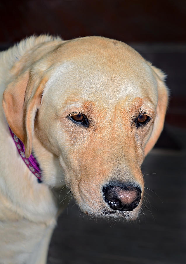 Animal; Retriever; Golden; Dog; Pet; Canine; Purebred; Mammal; Pedigree; Domestic; Breed; Cute; Background; Friend; Doggy; Fur; Beige; Labrador; Looking; Blond; Friendly; Adorable; Yellow; Sweet; Companion Photograph - Someone Call Me by Susan Leggett