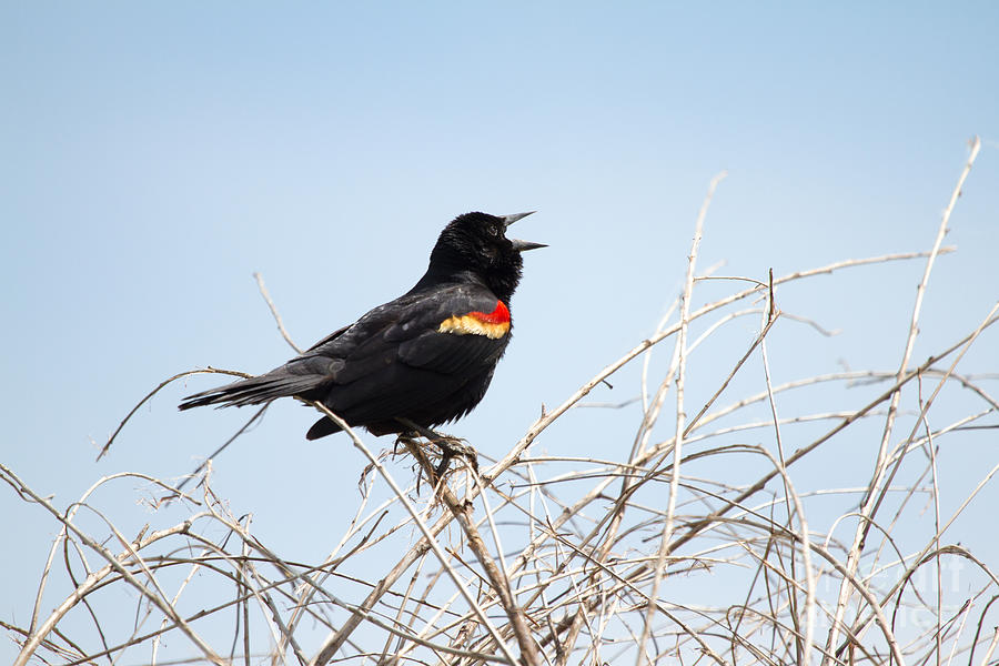 Red-winged Blackbird Photograph - Song Of A Red-winged Blackbird by Ellie Teramoto