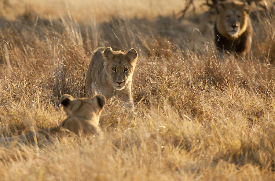 Lion Cubs Photograph - Sons And Father by Jennifer