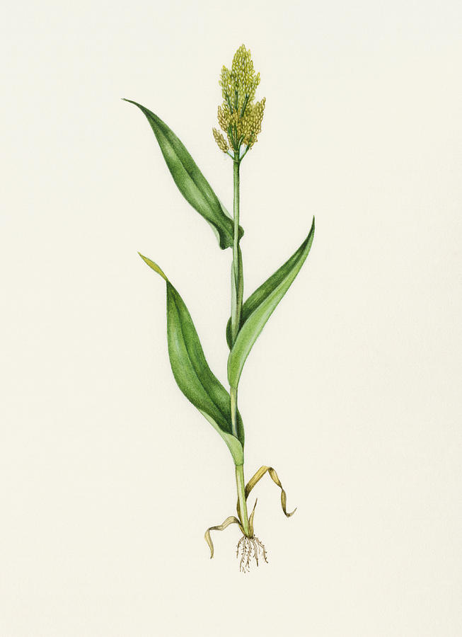 Sorghum Bicolor Photograph - Sorghum (sorghum Bicolor), Artwork by Lizzie Harper