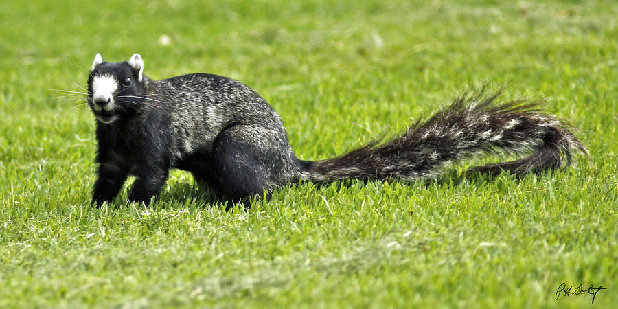 Canvas Photograph - Southern Fox Squirrel by Phill Doherty