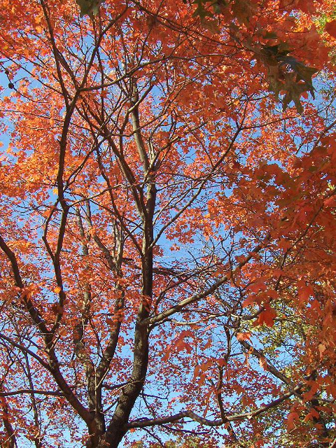Fall Painting - Southern Illinois Maple by Paul Louis Mosley