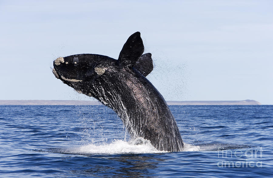 Southern Right Whale Photograph by Francois Gohier and ...