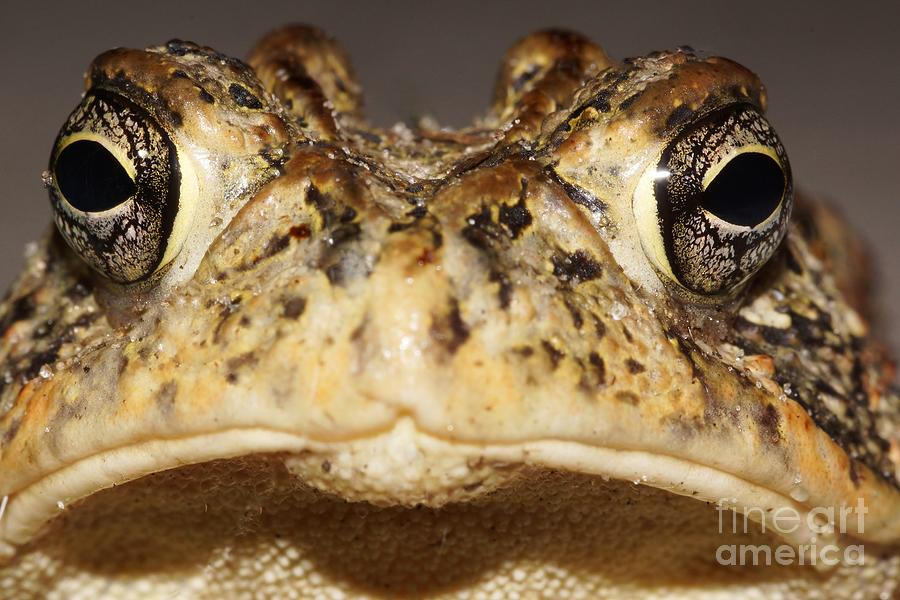 Toad Photograph - Southern Toad Close Up by Lynda Dawson-Youngclaus