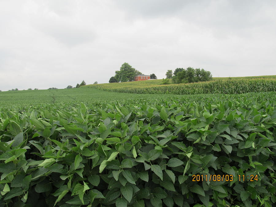 Farm Photograph - Soy Beans And Red Barn by Tina M Wenger