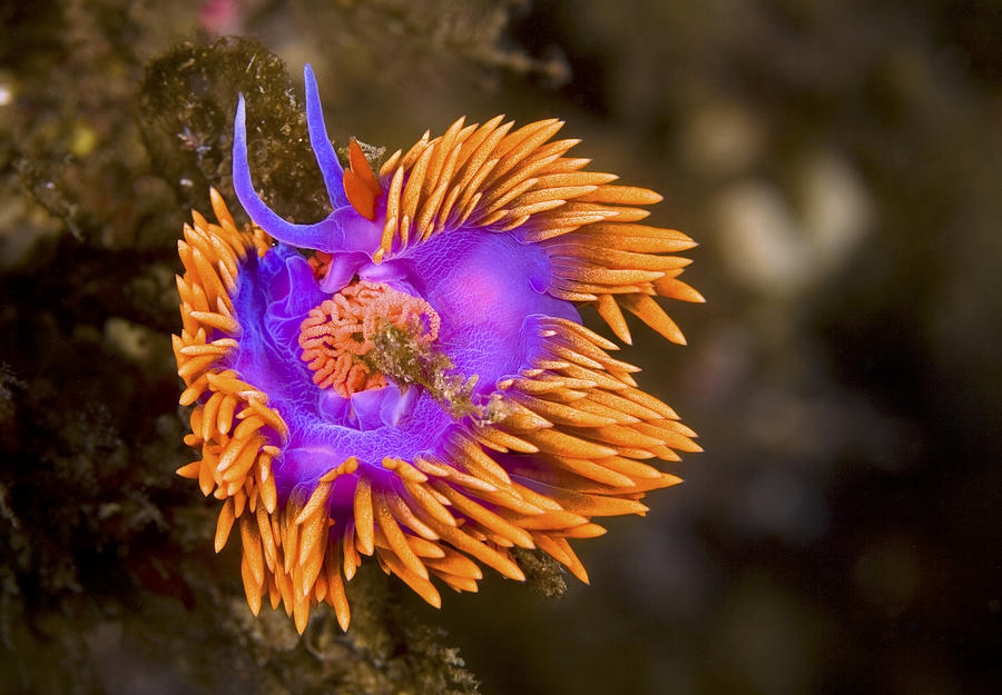 Aeolid Photograph - Spanish Shawl by Mike Raabe