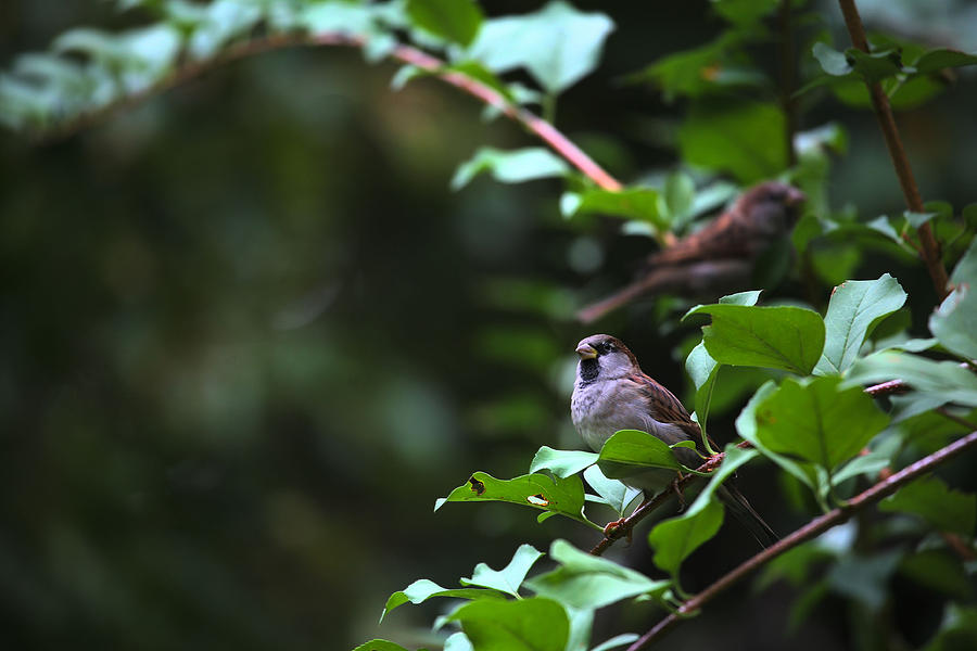 sparrow bush jewish singles Message of the sparrow – symbolic meaning of sparrows august 22, 2007 february 17, 2010 - by avia venefica - 31 comments all too often we take the sparrow for granted – small though she may be, she is certainly powerful.