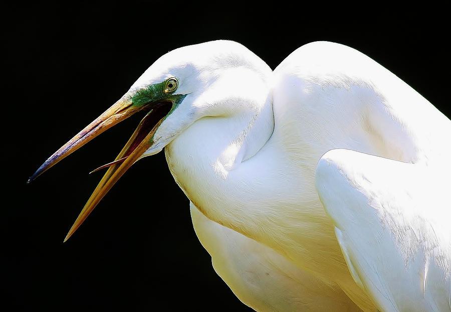 Great White Egret Photograph - Speak To Me by Paulette Thomas