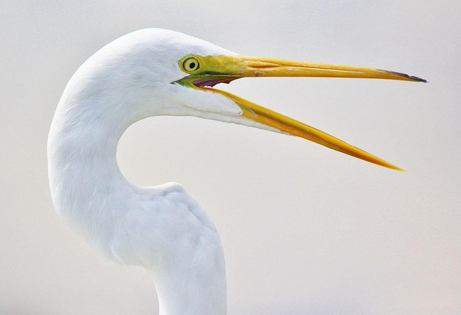 Great White Egret Photograph - Speaking by Paulette Thomas