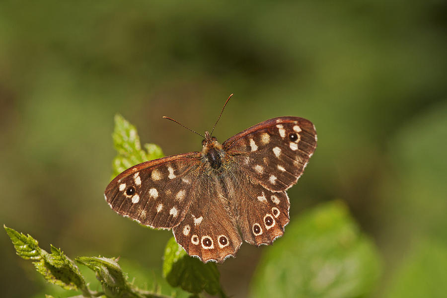 Butterfly Photograph - Speckled Wood by Paul Scoullar