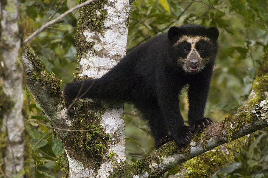 Spectacled Bear Tremarctos Ornatus Cub Photograph By Pete