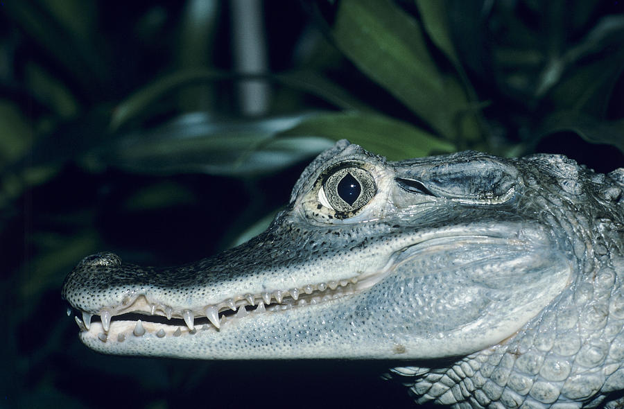 Caiman Crocodilus Photograph - Spectacled Caiman by David Aubrey
