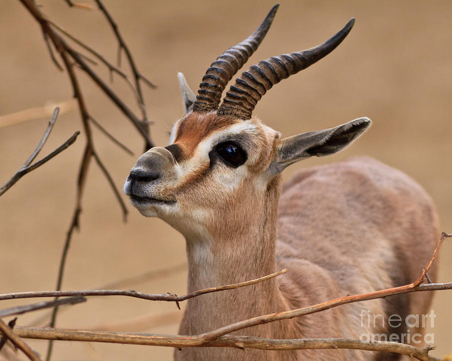 Speke S Gazelle Photograph By Carl Jackson
