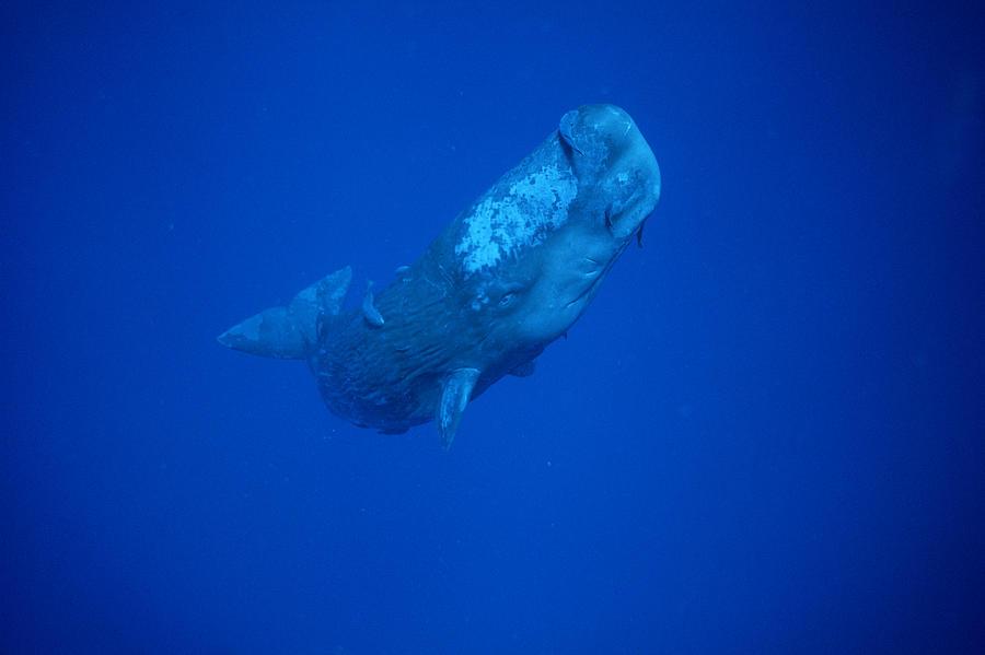 Sperm Whale Juvenile Dominica Photograph by Flip Nicklin