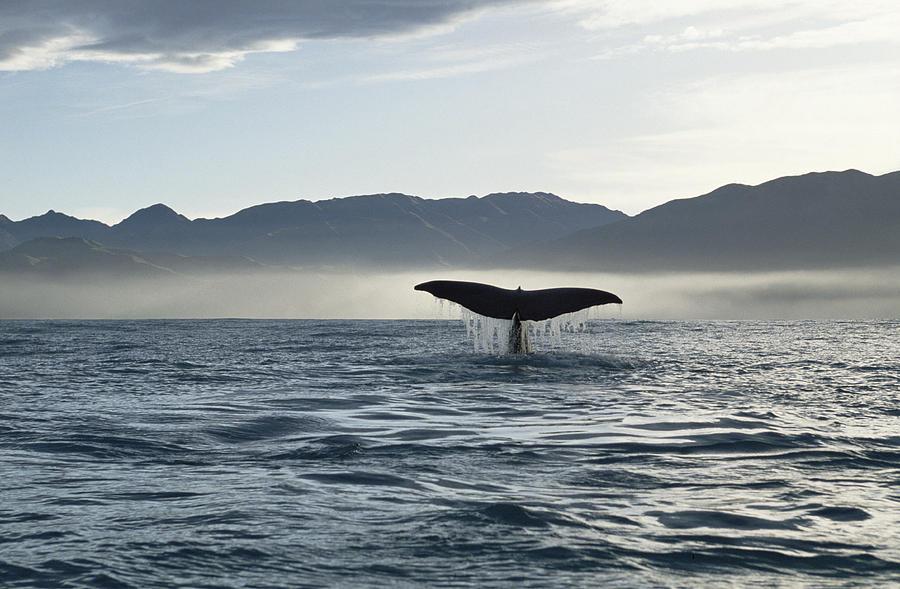 Sperm Whale Tail New Zealand Photograph by Flip Nicklin