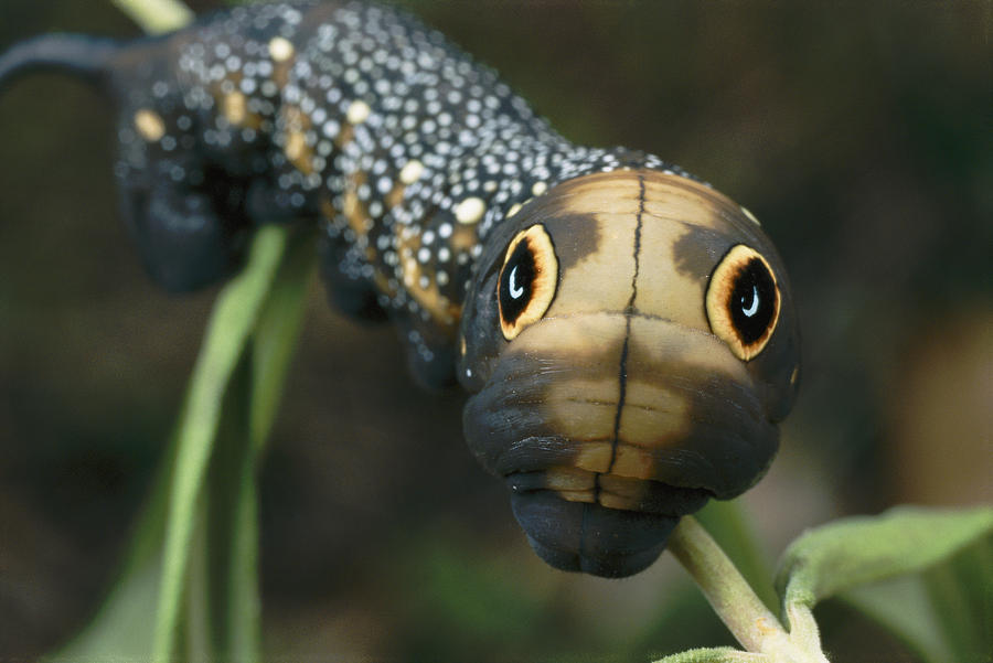 Outdoors Photograph - Sphinx Moth Caterpillar Inflating by Darlyne A. Murawski
