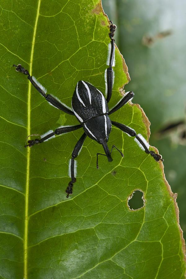 Piotr Naskrecki Photograph - Spider Weevil Papua New Guinea by Piotr Naskrecki