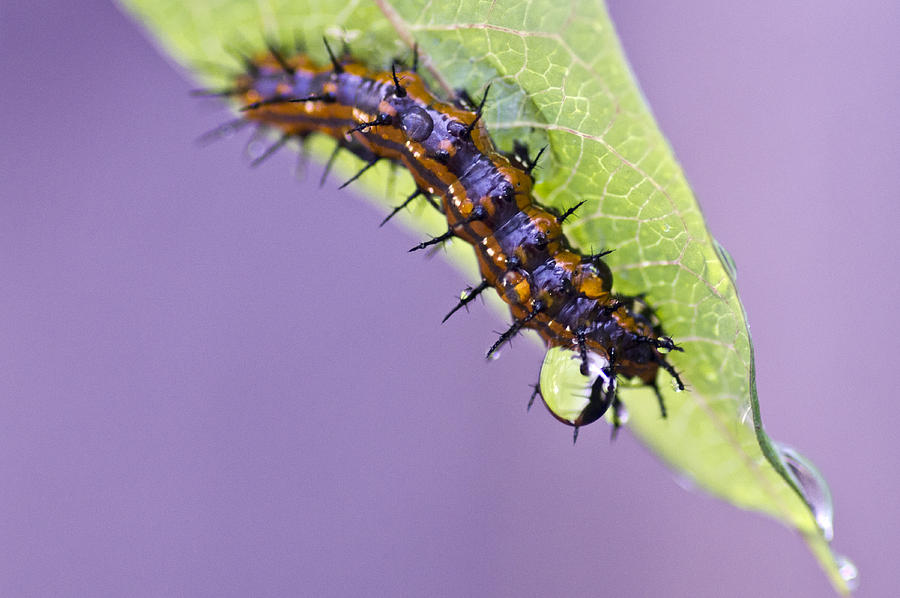 Caterpillar Photograph - Spikes And Drops by Priya Ghose