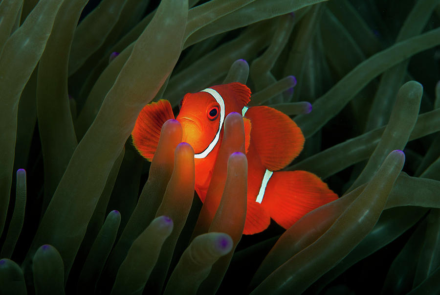 Horizontal Photograph - Spinecheek Anemonefish by Alastair Pollock Photography