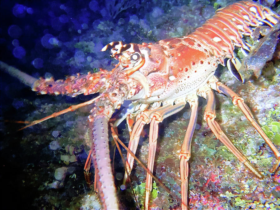 Lobster Photograph - Spiney Lobster by Barry Jones