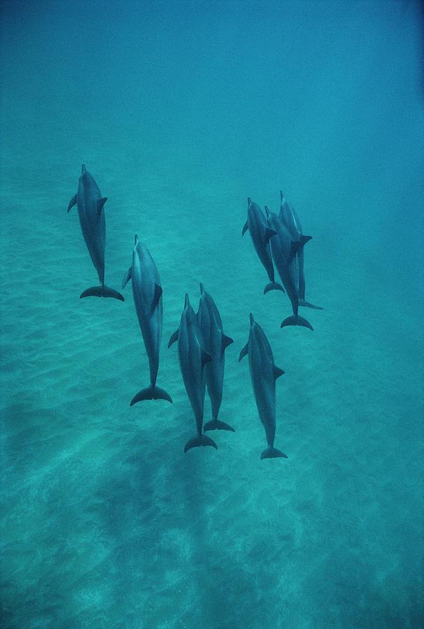 Spinner Dolphin Group Underwater Bahamas Photograph by Flip Nicklin