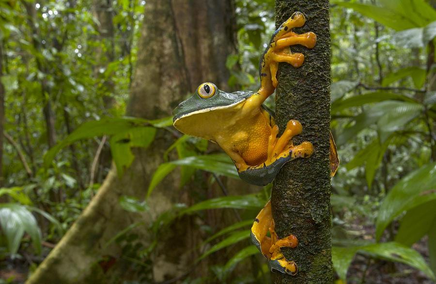 Piotr Naskrecki Photograph - Splendid Leaf Frog  Costa Rica by Piotr Naskrecki