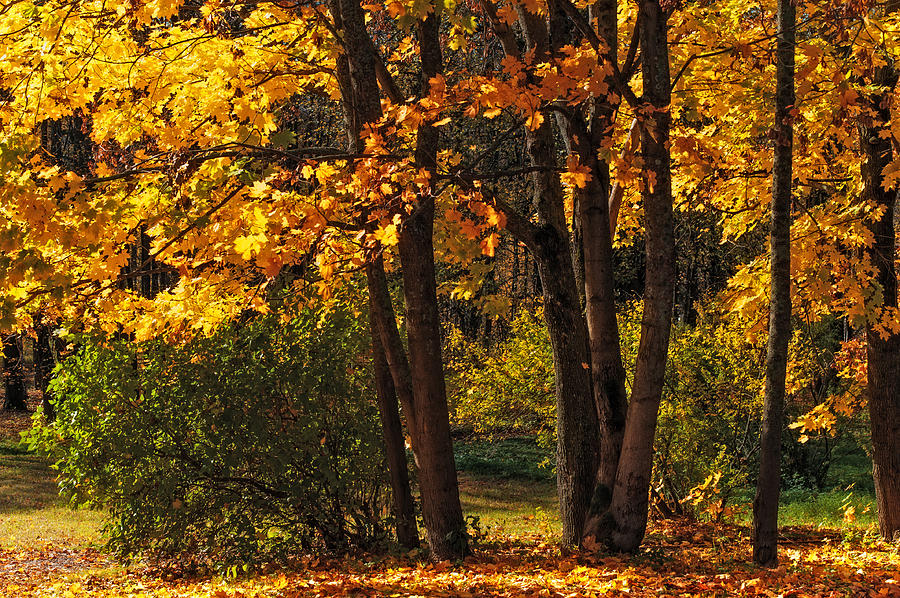 Autumn Photograph - Splendor Of Autumn. Maples In Golden Dresses by Jenny Rainbow