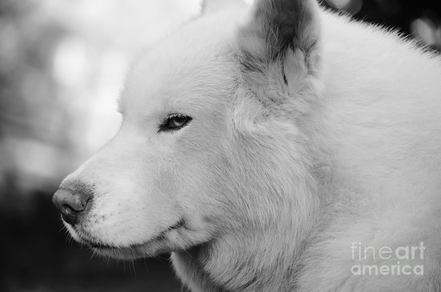 White Dog Photograph - Spot In Black And White by Lynda Dawson-Youngclaus
