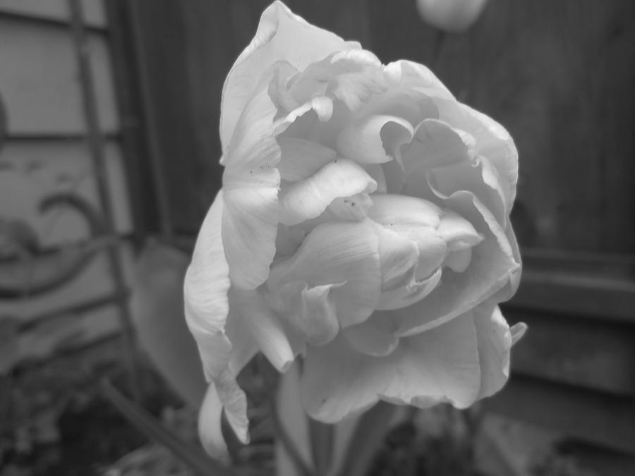 Flower Photograph - Spotlight by Lexis Cook