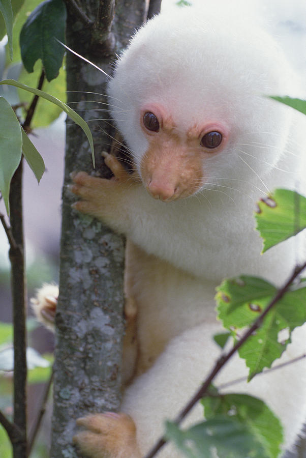 spotted-cuscus-phalanger-maculatus-mark-