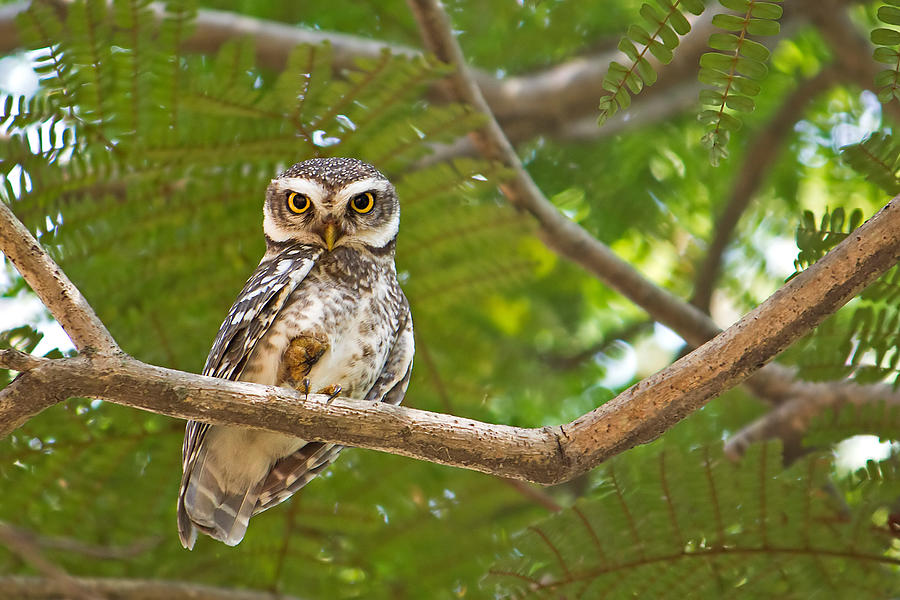 Spotted Owlet Photograph by Amith Nag Photography