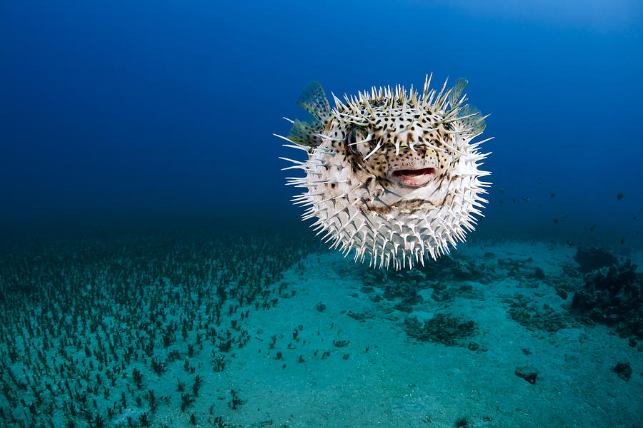 Alone Photograph - Spotted Porcupinefish II by Dave Fleetham