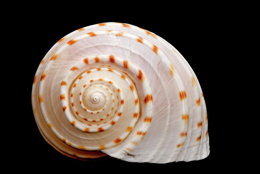Horizontal Photograph - Spotted Sea Snail Shell by Michael Smith Photography/Studio One Pensacola