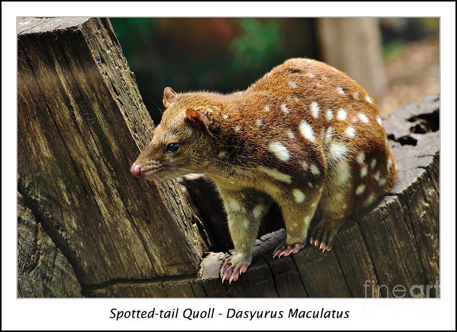 Tiger Quoll Photograph - Spotted-tail Quoll 2 by Kaye Menner