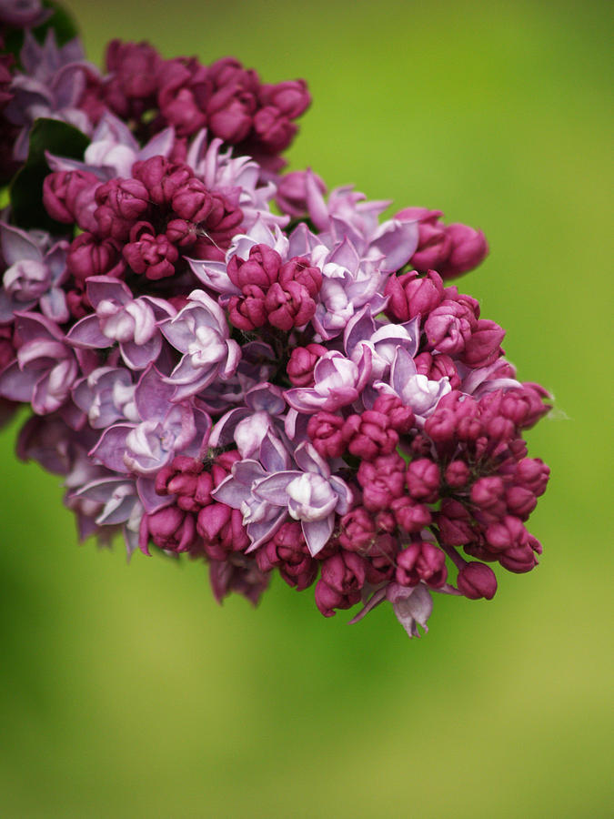 Lilac Photograph - Spray Of Lilac II by Laine Zunte