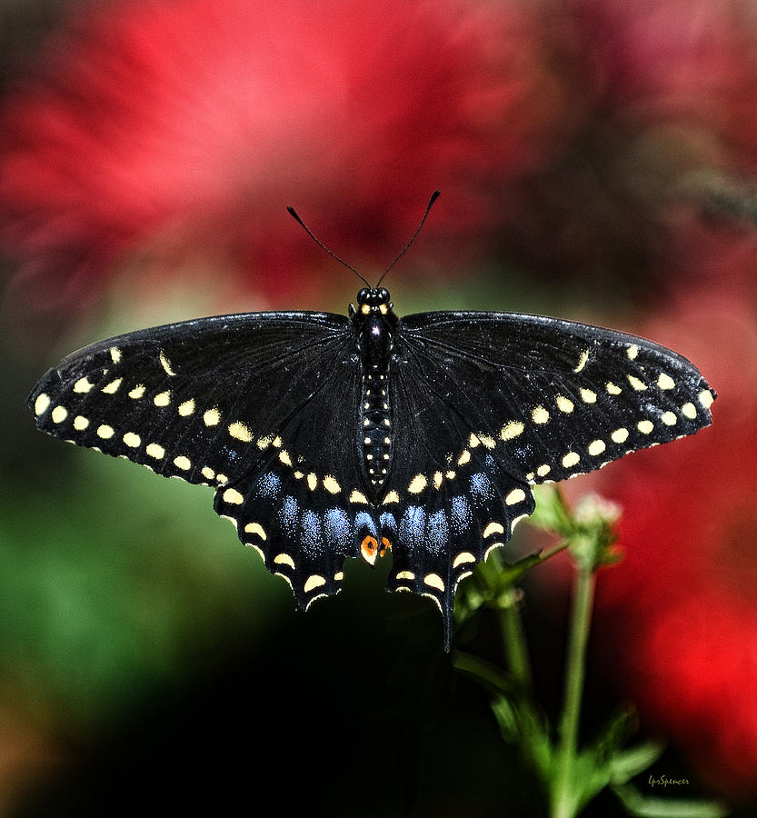 Butterflies Photograph - Spread The Wings by Lisa  Spencer