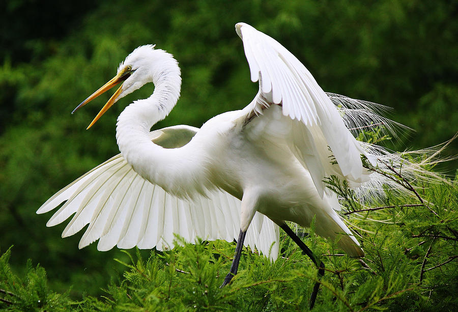 Great White Egret Photograph - Spreading His Wings by Paulette Thomas