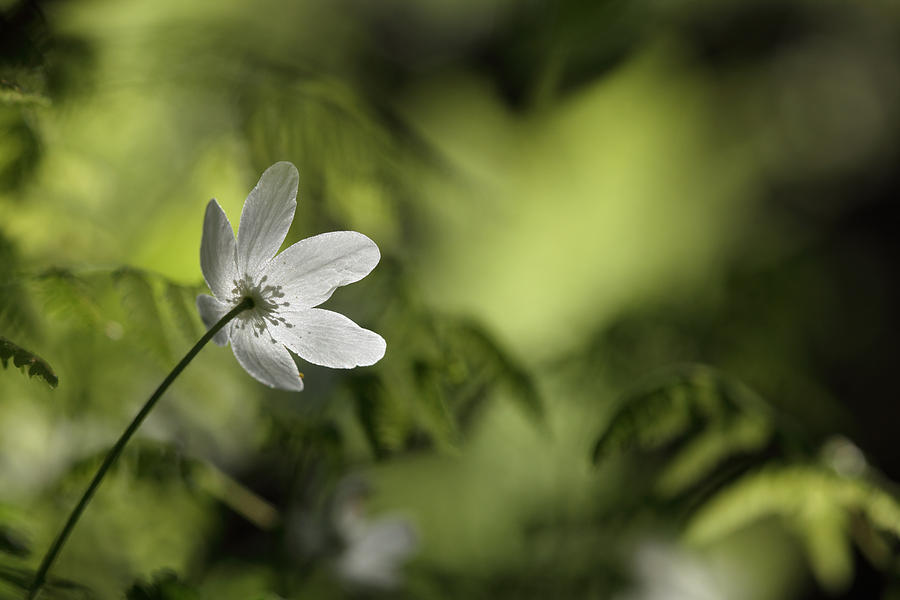 Nature Photograph - Spring Anemone by Ulrich Kunst And Bettina Scheidulin