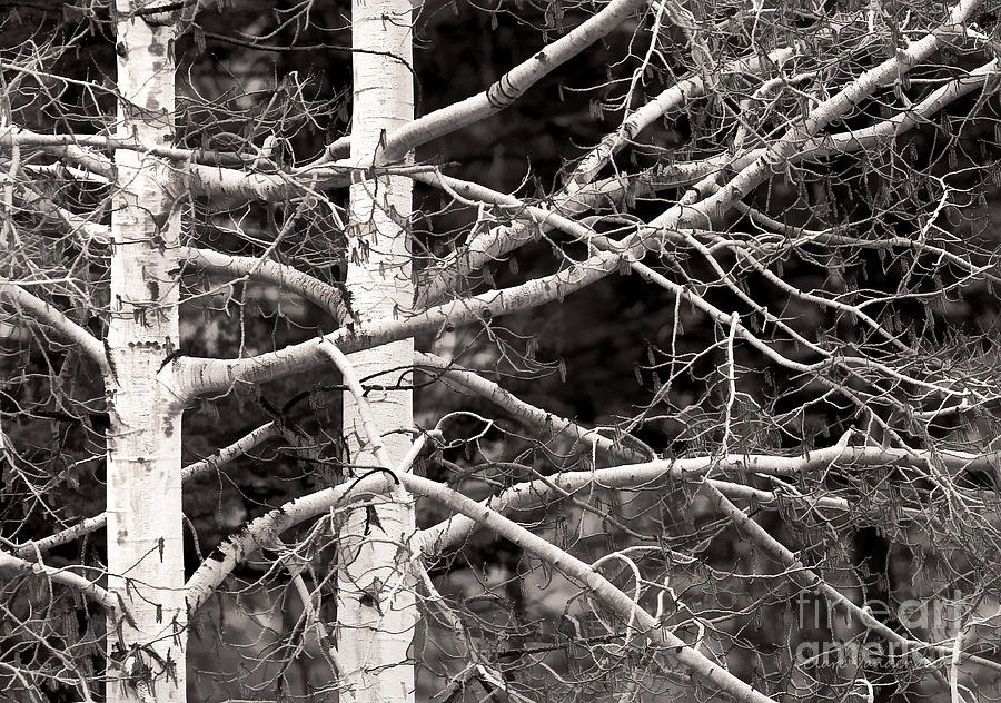 Aspens Photograph - Spring Aspens by Clare VanderVeen