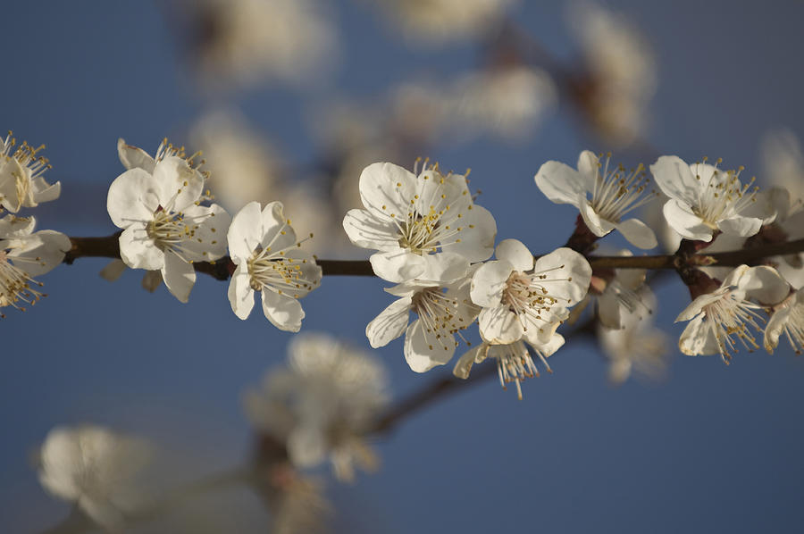 Turkey Photograph - Spring Blossoms by Ayhan Altun