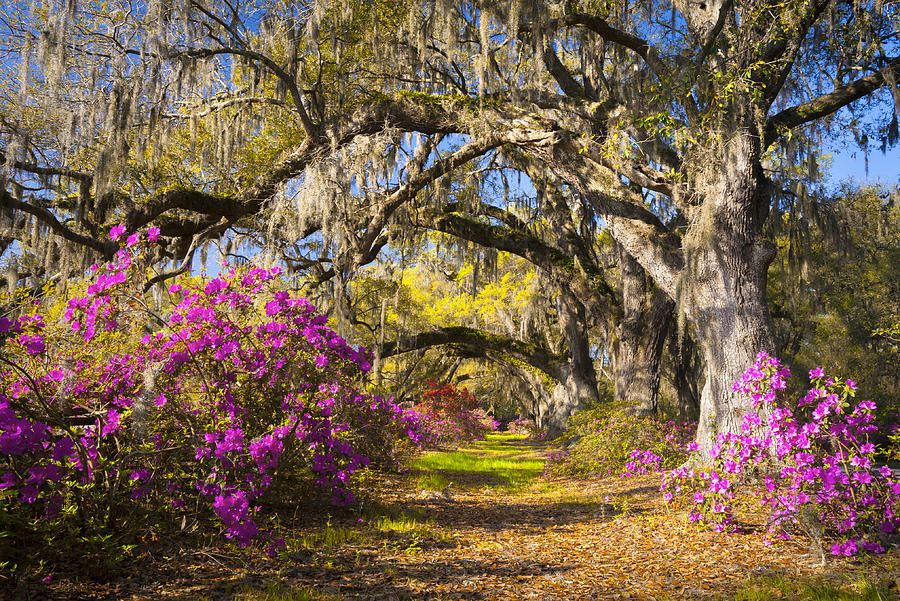 landscape photography flowers. charleston sc photograph spring flowers azalea blooms deep south landscape photography by dave d