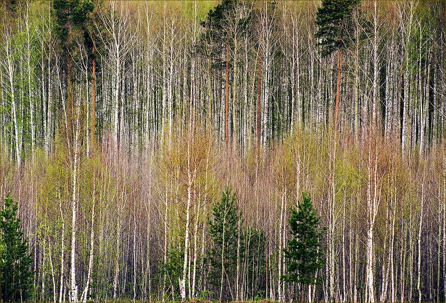 Landscape Photograph - Spring Forest Lace by Vladimir Kholostykh